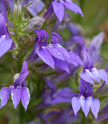 Great Blue Lobelia