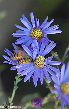Smooth Aster flowers