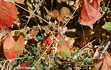Westen Poison Ivy fall leaves