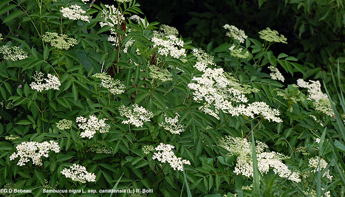 Canada Elderberry plant in flower