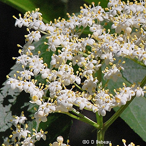 Canada Elderberry Flower
