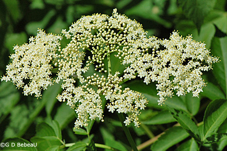 Canada Elderberry inflorescence