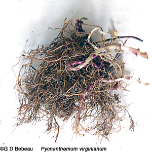 ... root structure consists of small rhizomes with a mass of fibrous roots