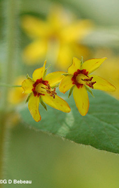 Whorled Loosestrife