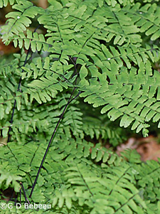 Maidenhair Fern