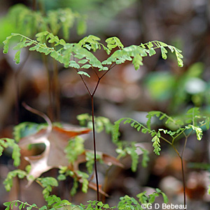 Maidenhair young plant