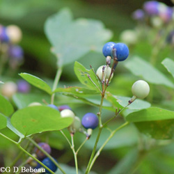 Blue cohosh Fruit