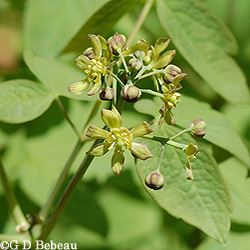 Blue Cohosh Flower