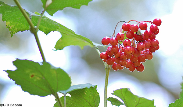 European Cranberrybush with fruit