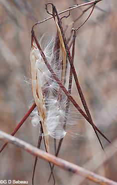indian hemp apocynum cannabinum l