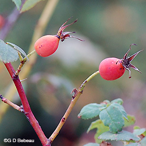 Prickly Rose Hips
