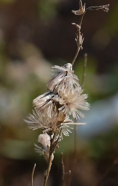 Shaggy blazing Star Seedheads