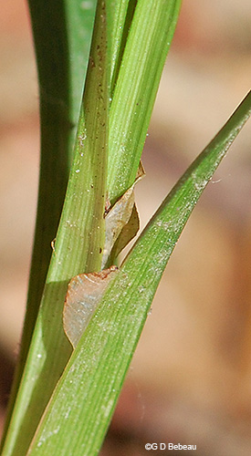 leaf sheath area