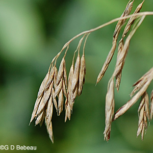 Smooth Brome panicle