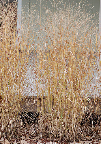 Switchgrass in the fall