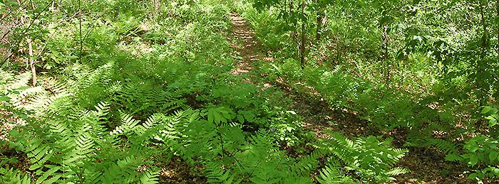 Fern Glen Development Eloise Butler Wildflower Garden