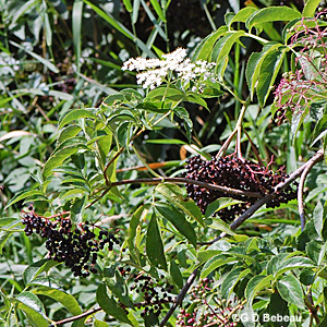 Canada Elderberry August flowers
