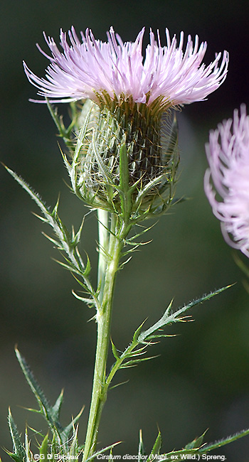Field Thistle flower stem