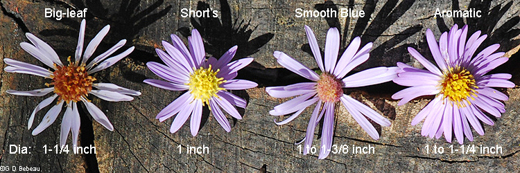 Blue asters flower comparison