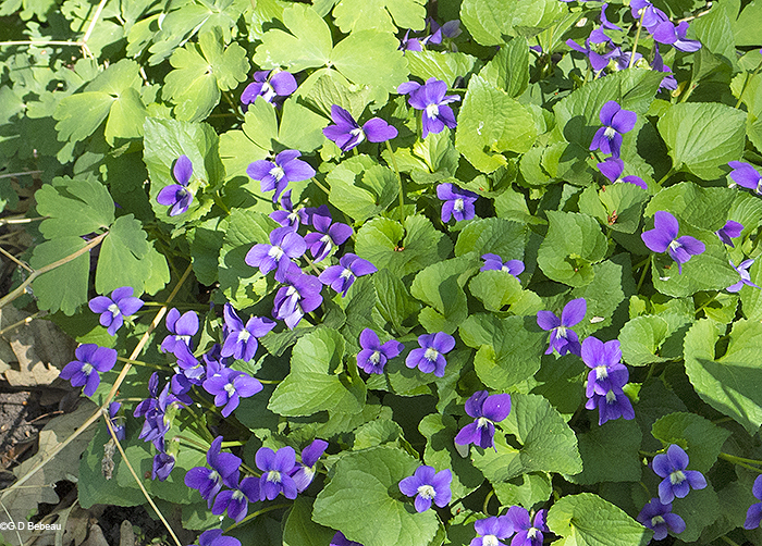 Blue violet clump