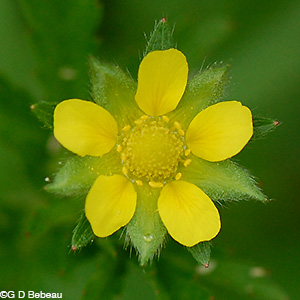 Rough Cinquefoil flower