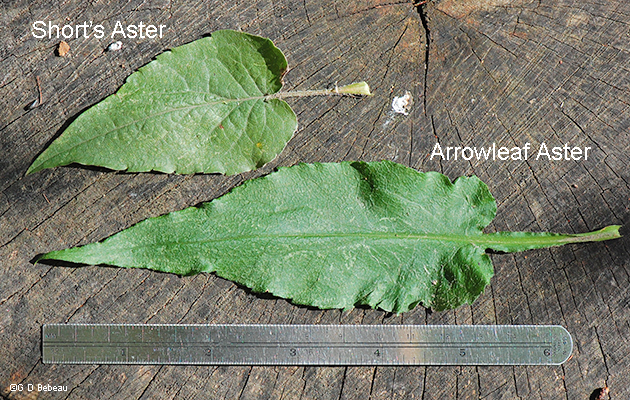 comparison with arrowleaf aster leaf
