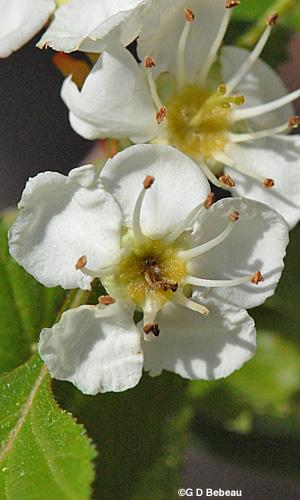 Hawthorn Crataegus Chrysocarpa Ashe