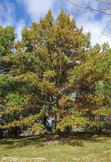 Black Oak Tree ~ Black oak quercus velutina lam