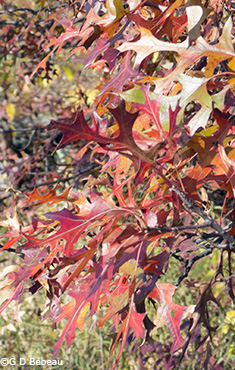 Pin Oak fall leaf