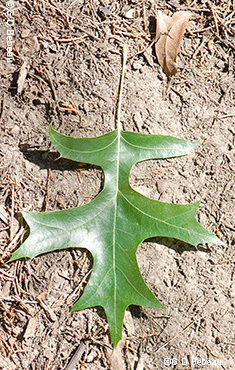 Pin Oak Quercus Palustris Munchh