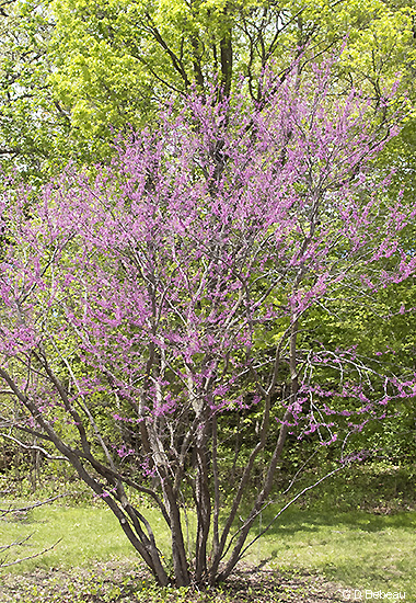 large redbud tree