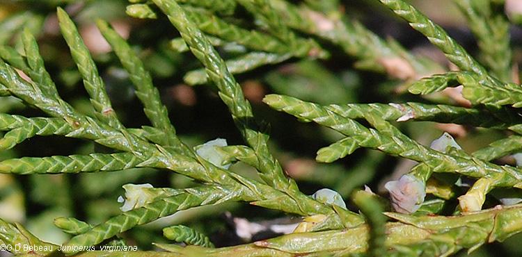Eastern redcedar juniperus virginiana l