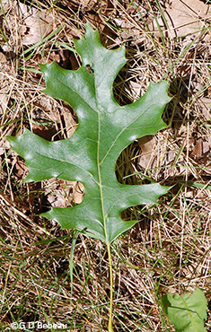 scarlet oak leaf