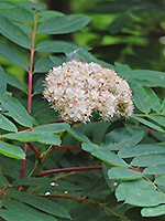 Showy Mountain Ash flowers
