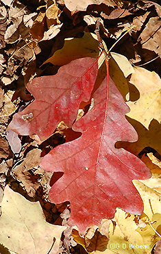 fall mulberry leaf