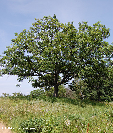 White Oak in Summer