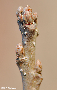 White Oak twig