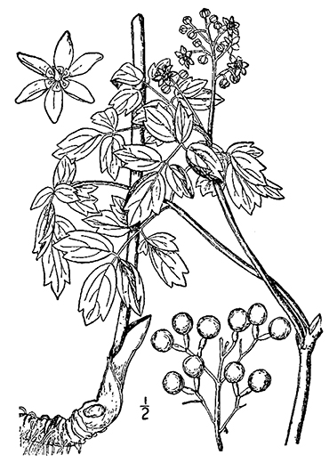 Blue Cohosh Drawing