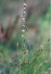 Arrowgrass