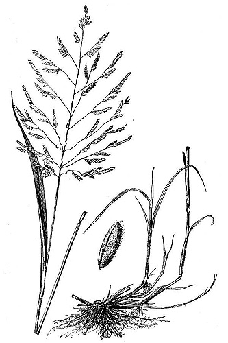 Rice Cutgrass, Leersia oryzoides, Eloise Butler Wildflower Garden