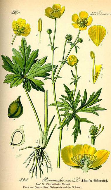 Goldenrod Plant Seed Tall Buttercup, Ranunc...