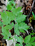 Bland Sweet Cicely Leaf