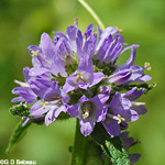 Bristly Bellflower