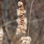 Cattail late fall seed