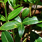 Common Periwinkle leaf