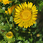 Curly-cup Gumweed