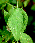 enchanter's Nightshade leaf