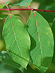 spreading dogbane leaf