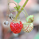 Virginia Strawberry fruit
